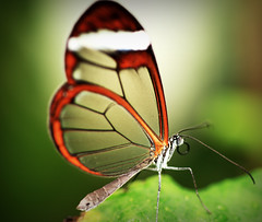 Glasswing Butterfly Macro (-terry-) Tags: macro butterfly glasswing symondsyatwest wyevalleybutterflyzoo tuw011