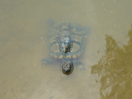 North Antillean slider (Trachemys decussata)