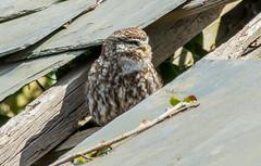 JWL1871 Little Owl.. (jefflack Wildlife&Nature) Tags: littleowl owl owls birds avian animal wildlife wildbirds raptors birdsofprey farmland countryside nature heathland hedgerows moorland marshland