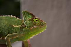 (Fersanchez94) Tags: naturaleza verde animal lagarto bicho fer sanchez cresta camaleon fersanchez94