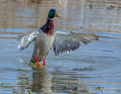 """Mallard (Male) • <a style=""""font-size:0.8em;"""" href=""""http://www.flickr.com/photos/53908815@N02/13135531025/"""" target=""""_blank"""">View on Flickr</a>"""