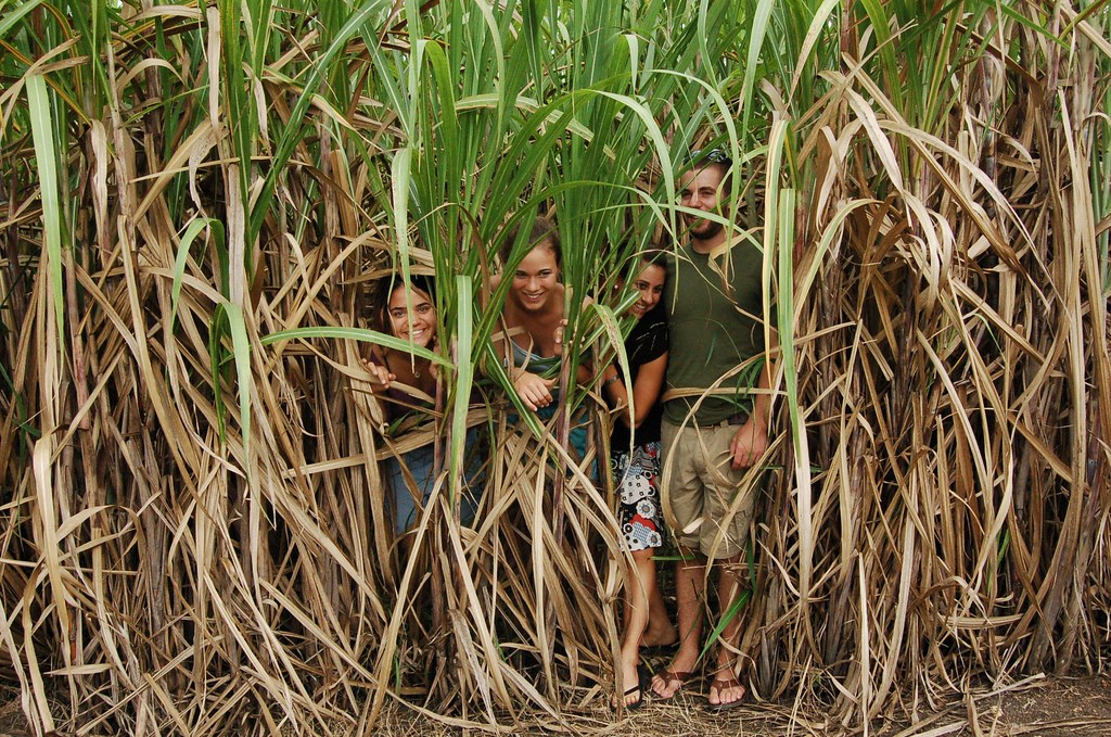 Sugar cane has played a prominent historical role in US - Cuba relations
