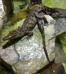 Keep cool, i'm just taking a pic ! (Jean-christophe 94) Tags: paris acquarium crocodile portedorée naturewatcher jc94 jeanchristophe94