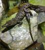 Keep cool, i'm just taking a pic ! (Jean-christophe 94) Tags: paris acquarium crocodile portedorée naturewatcher jc94 jeanchristophe94
