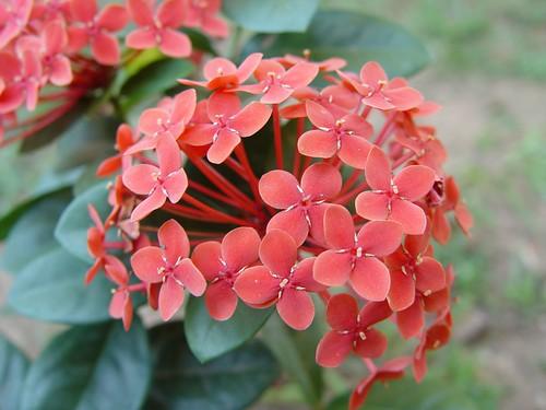 Red Ixora
