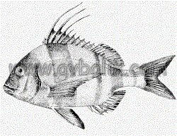 2055437118 5904963aae mercan balığı nasıl avlanır