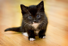 here comes trouble (mosippy) Tags: thanksgiving pet baby cute cat blackcat focus kitten kitty diamond whiskers tiny lovely 6weeks canonef24105mmf4lis zachscat
