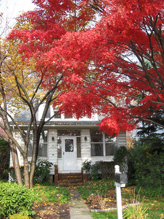 Japanese Maple in Front Yard