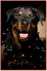Christmas Miracle... (RottieLover) Tags: christmas light dog pet pets dogs animal animals stars 50mm lights star nikon bokeh dream rottweiler dreams d200 happyholidays merrychristmas rottie nero rottweilers 50mmf14d rotties mrsu nikonstunninggallery starbokeh