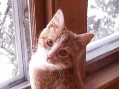 posed (Mamluke) Tags: wood portrait orange home window cat pose ventana madera kitten kat chat retrato fenster posed finestra amarelo gato katze byron portret holz gatto fenêtre ritratto hout bois arancione legno anaranjado venster mamluke