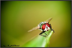 FLY (T.ALRoumi) Tags: macro art nature animals canon photography fly photo flickr award 100mm flies closer  kuwair