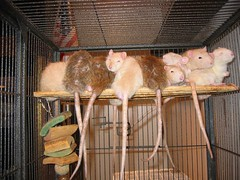 Boys at rest (worldchampscwsox) Tags: friends usa pets chicago cute bird beautiful animal animals canon rebel dumbo pals rats critters rex rodents bestfriends petrat naturesfinest petrats efs1855mmf3556 cutepets fancyrats housepets dumborats smallpets xti canonxti canoneosdigitalrebelxti furrypets smallfurry smallfury furypets rexrats shotbybird worldchampscwsox dumboratsrexrexrats