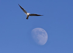 Kite and Moon 8983 (casch52) Tags: california county moon kite bird 20d canon photo day photograph raptor yolocounty yolo familygetty