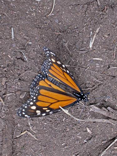 monarcas-1