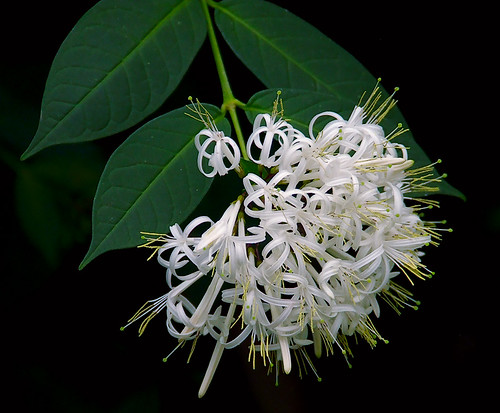 Missouri Botanical Gardens, in Saint Louis, Missouri - white flowers 4