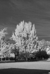 Infrared Pine