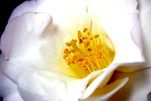 WHITE NUN (Camellia japonica) -detalle-