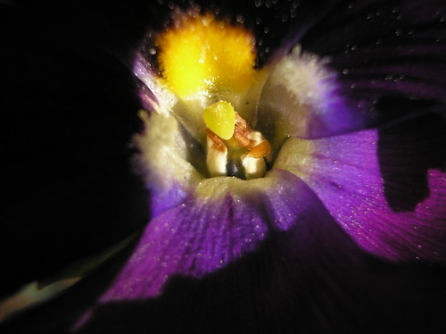 pansy centers