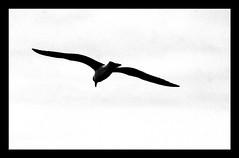 Fly over ... (alfredo_lmd) Tags: portugal foz gaivota oceano atlantico ilustrarportugal