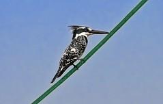 Standing normally ... (maksid) Tags: blue lake bird kingfisher ethiopia tana piedkingfisher