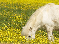 """Yellow Flowers"" (ardumpln1) Tags: flowers horse flower nature beauty field yellow yellowflower pony topic colorphotoaward impressedbeauty trueessence"