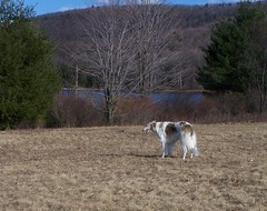 Myka (Ferlinka Borzoi (Deb West)) Tags: dog lake rose valley russian sighthound borzoi wolfhound