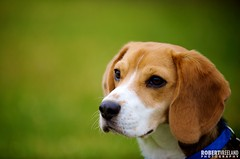 Coby (Murphy Dog Studios) Tags: portrait dog pet beagle puppy nikon canine professional mds d3 coby murphydogstudios