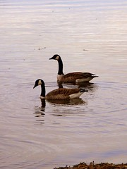 Canada goose. (afc07) Tags: naturaleza lake nature water lago agua sweden natur aves goose sverige vatten canadagoose suecia rebro sj gansos canadags gansocanadiense anatidas afc07