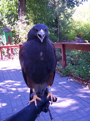 HARRIS' HAWK (Aquila-chrysaetos) Tags: park urban bird birds animals liberty zoo utah saltlakecity raptor northamerica b2 aviary raptors birdsofprey birdofprey libertypark falconiformes birdstwo