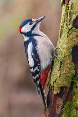 Great spotted woodpecker @ birding hide