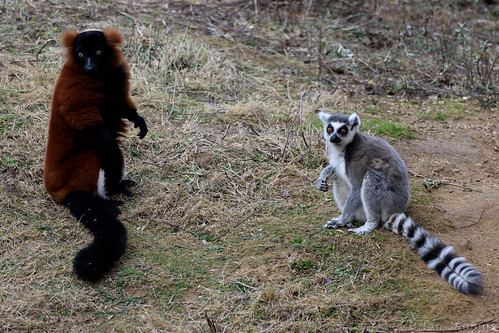 Red-Ruffed and Ring-Tailed Lemurs