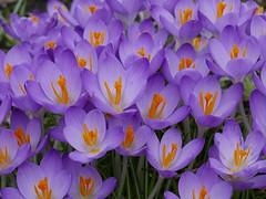 purple explosion (auroradawn61) Tags: purpleexplosion purple bournemouthgardens flowers crocus springtime february 2017 bournemouth dorset uk england warmingup lumixlx100 explored interestingness
