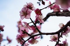 (garthim) Tags: olympus ep5 mzuiko 25mm pen flower 梅 japan shizuoka mishima