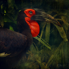 The Tidy (fesign) Tags: bird nature animal explore lc bucorvusleadbeateri africangroundhornbill southerngroundhornbill leastconcern vosplusbellesphotos