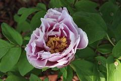 Peony Flower 1