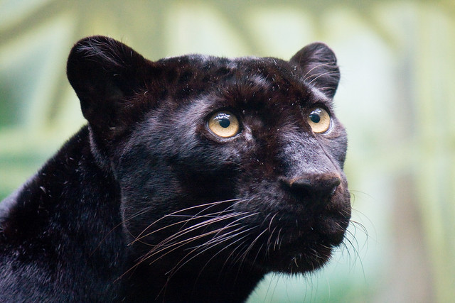 Black panther, Bronx Zoo