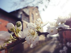 Plum flowers 4 (I want to travel the world) Tags: flowers white nature spring plum
