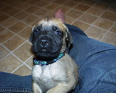 Mastiff Puppy (Born 2/4/07) (muslovedogs) Tags: dogs puppy mastiff excalibur myladyoffspring