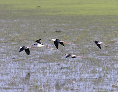 Black-winged Stilts in flight, adults and subadults (Pia's birdseye view) Tags: wow himantopushimantopus blackwingedstilt styltlpare birdsofmorocco