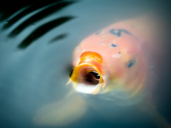 Lullaby (Muzzlehatch) Tags: portrait fish water gold golden pond underwater singing koi getty carp 2008 smooch gulp inttag