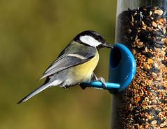 Great Tit (Jim_Higham) Tags: uk winter bird nature kent europe tit wildlife great seed eu feeder canterbury birdwatcher naturesfinest avianexcellence naturewatcher