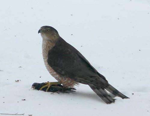Poor Starling!