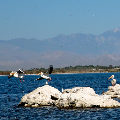 Pelikans at the Salton Sea