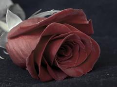 Apagándose (_Zahira_) Tags: red flower macro rose cutout lafotodelasemana rojo flor rosa olympus e500 uro desaturado 100vistas interestingness245 i500 35mmmacro desaturadoselectivo ltytrx5 ltytr2 ltytr1 lfs042008
