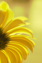 about daisy 02 - sunny day (jimuni) Tags: plant flower color macro nature closeup daisy dazzled afican blueribbonwinner digitalcameraclub mywinners saveearth blueribbonphotography theperfectphotographeraward floweria mimamorflowers alemdagqualityonlyclub freeflickrflowers
