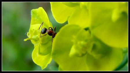 furnica in floare