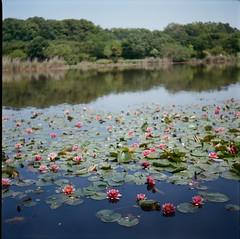 Dangerous waterside (otarako☺︎) Tags: 6x6 film japan waterlily iso400 saitama flexaret お尻びしょぬれの地