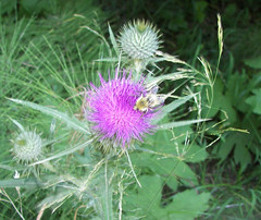 Bubmle bee thistle