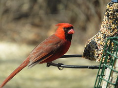 Male Cardinal And Bell Bird Seed Cake IMG_6949 (Ted_Roger_Karson) Tags: canonpowershotsx700hs 30xzoom canon powershot sx280 hs northern illinois back yard friends backyard animals birds bird feeder seed cake suet miniature compact pocket camera telephoto thisisexcellent twop test photo hand held handheldcamera minicompactdigitalpocketcamera cardinal woodpecker