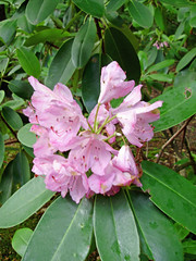 May09 Rhodie